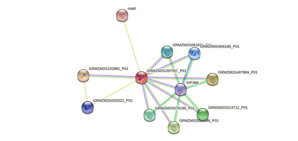 GRMZM2G397557_P01 protein (Zea mays) - STRING interaction network