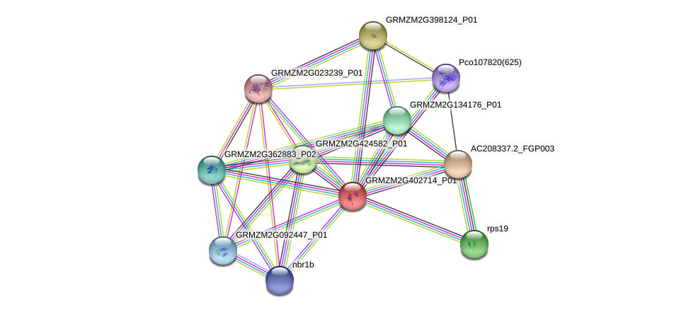 GRMZM2G402714_P01 protein (Zea mays) - STRING interaction network