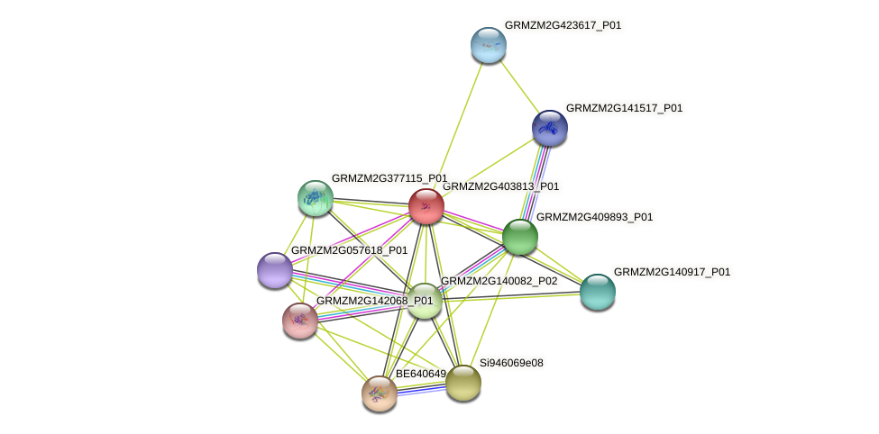 GRMZM2G403813_P01 protein (Zea mays) - STRING interaction network