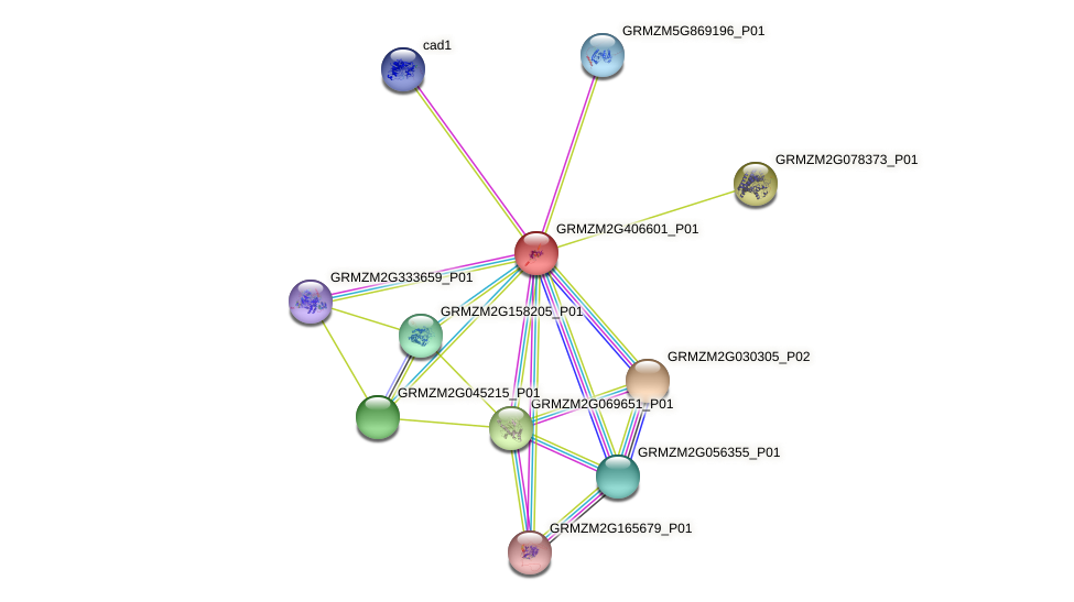 GRMZM2G406601_P01 protein (Zea mays) - STRING interaction network