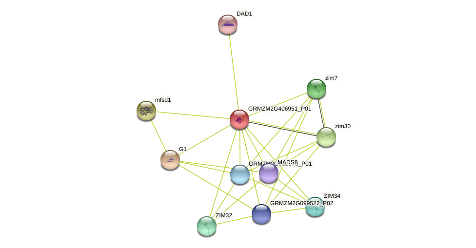 GRMZM2G406951_P01 protein (Zea mays) - STRING interaction network