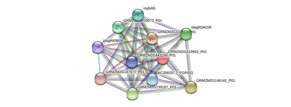 GRMZM2G419563_P01 protein (Zea mays) - STRING interaction network