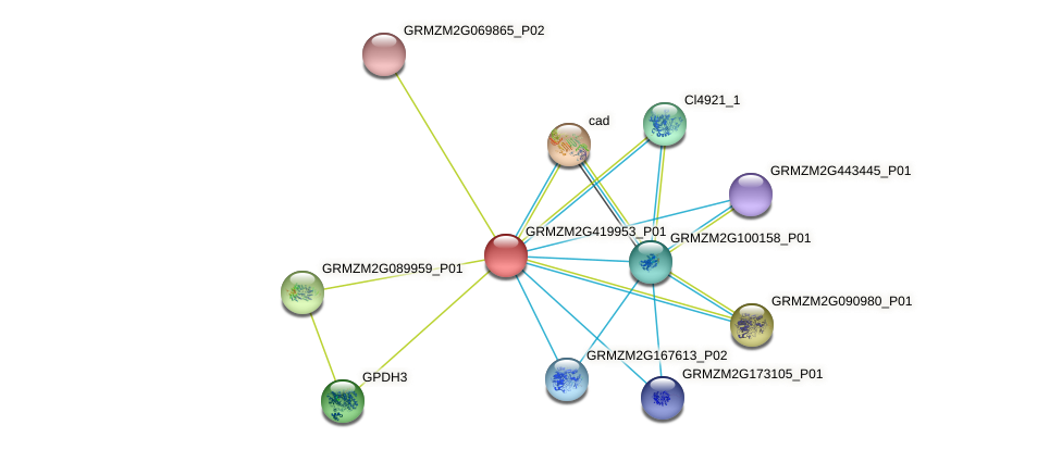 GRMZM2G419953_P01 protein (Zea mays) - STRING interaction network