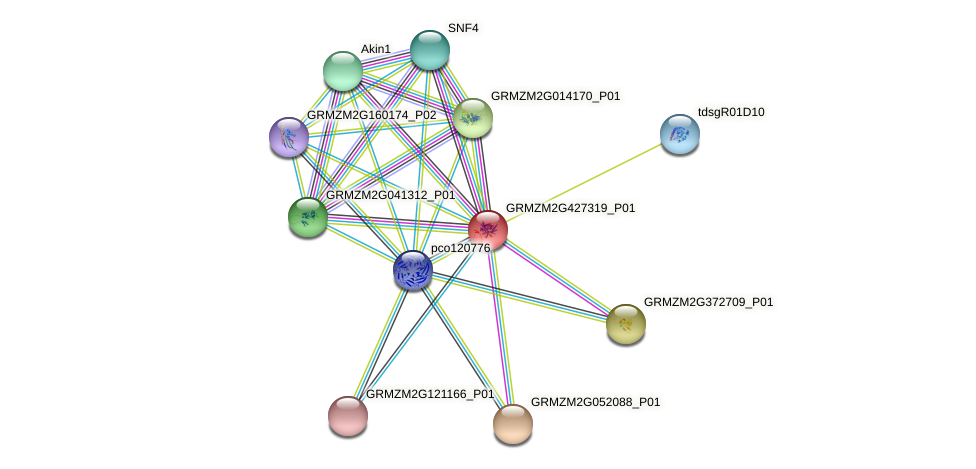 GRMZM2G427319_P01 protein (Zea mays) - STRING interaction network
