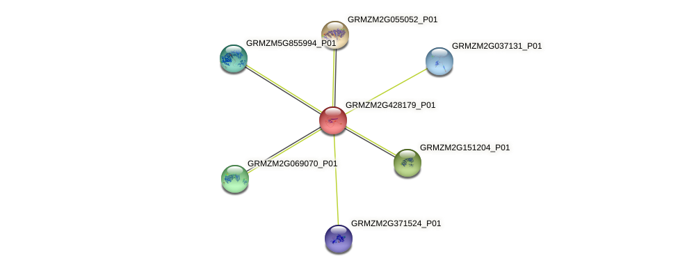 GRMZM2G428179_P01 protein (Zea mays) - STRING interaction network