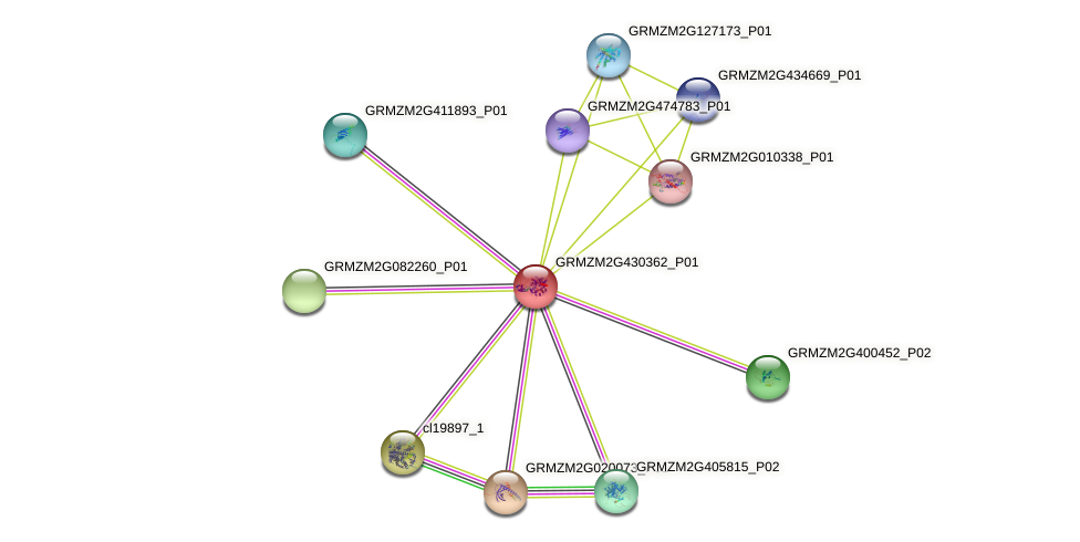 GRMZM2G430362_P01 protein (Zea mays) - STRING interaction network