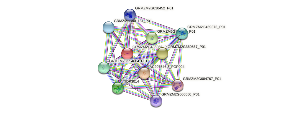 GRMZM2G436066_P01 protein (Zea mays) - STRING interaction network
