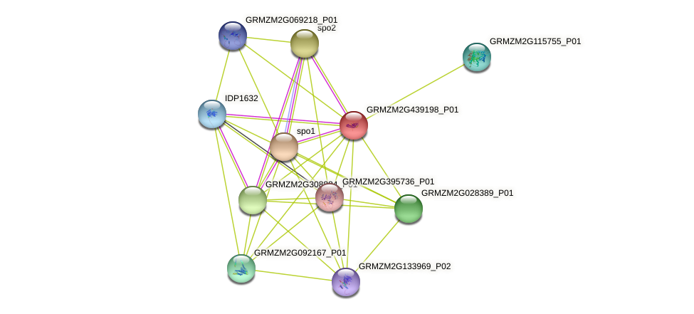 GRMZM2G439198_P01 protein (Zea mays) - STRING interaction network
