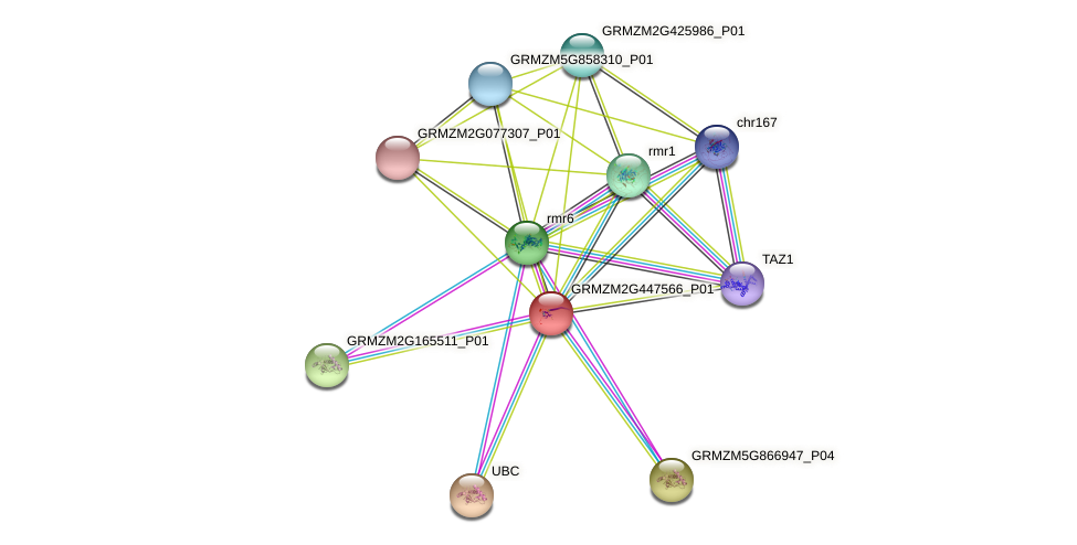 GRMZM2G447566_P01 protein (Zea mays) - STRING interaction network