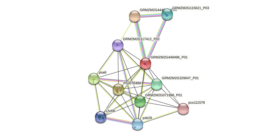 GRMZM2G449496_P01 protein (Zea mays) - STRING interaction network