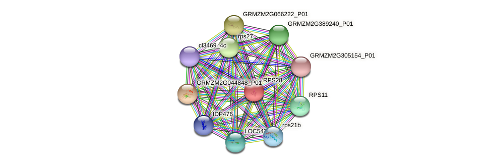 RPS28 protein (Zea mays) - STRING interaction network