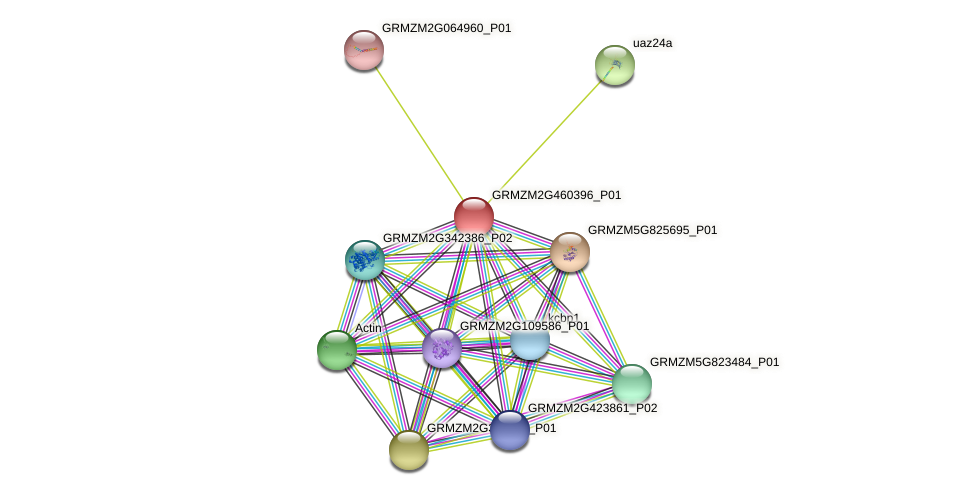 GRMZM2G460396_P01 protein (Zea mays) - STRING interaction network