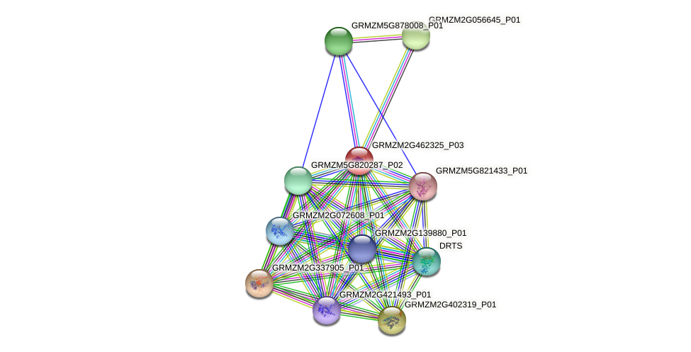 GRMZM2G462325_P03 protein (Zea mays) - STRING interaction network