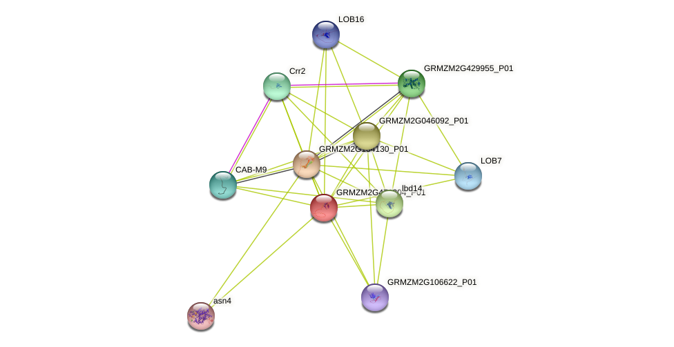 GRMZM2G471304_P01 protein (Zea mays) - STRING interaction network