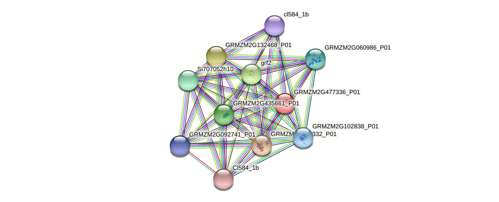 GRMZM2G477336_P01 protein (Zea mays) - STRING interaction network