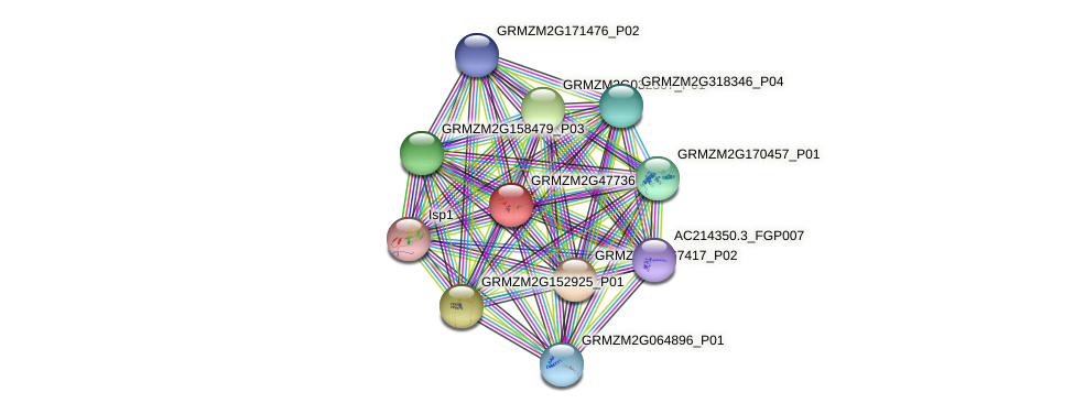 GRMZM2G477366_P01 protein (Zea mays) - STRING interaction network