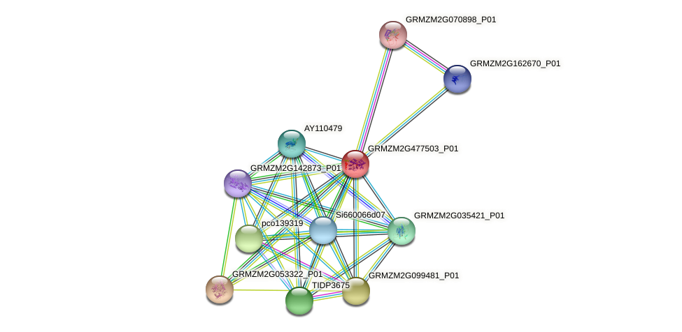 GRMZM2G477503_P01 protein (Zea mays) - STRING interaction network