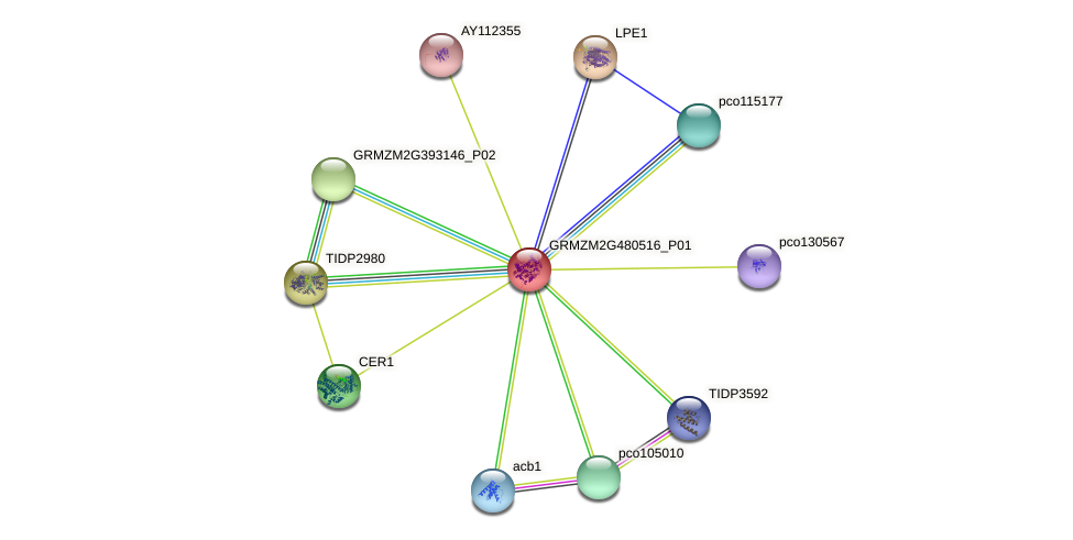 GRMZM2G480516_P01 protein (Zea mays) - STRING interaction network