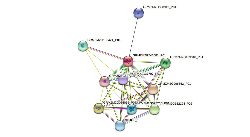 GRMZM2G546081_P01 protein (Zea mays) - STRING interaction network