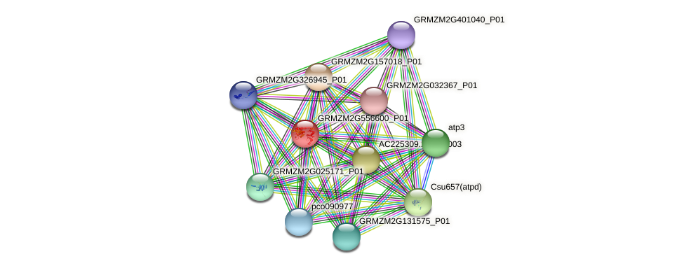 GRMZM2G556600_P01 protein (Zea mays) - STRING interaction network