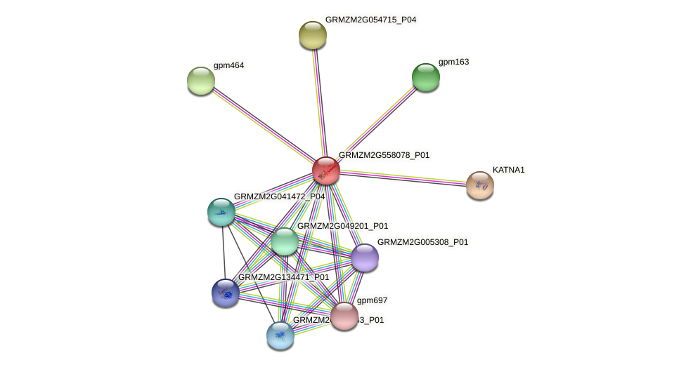 GRMZM2G558078_P01 protein (Zea mays) - STRING interaction network
