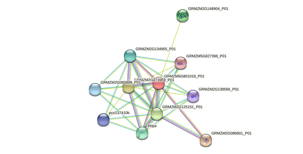 GRMZM5G801019_P01 protein (Zea mays) - STRING interaction network