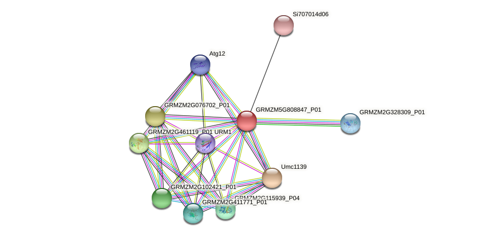 GRMZM5G808847_P01 protein (Zea mays) - STRING interaction network