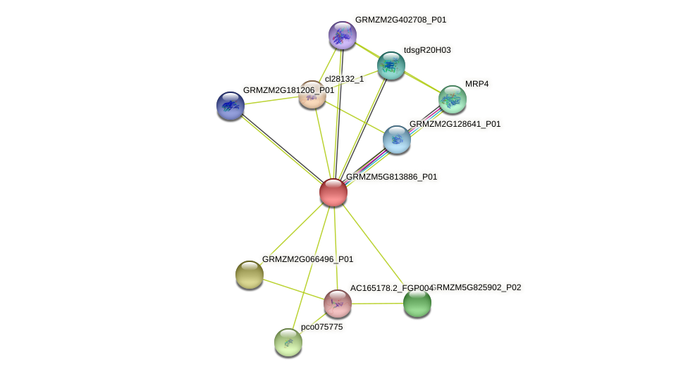 GRMZM5G813886_P01 protein (Zea mays) - STRING interaction network