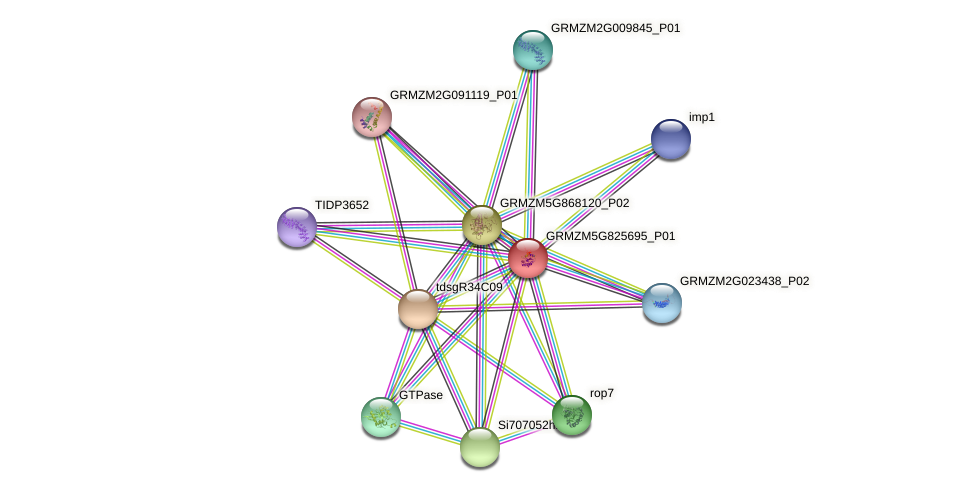 GRMZM5G825695_P01 protein (Zea mays) - STRING interaction network