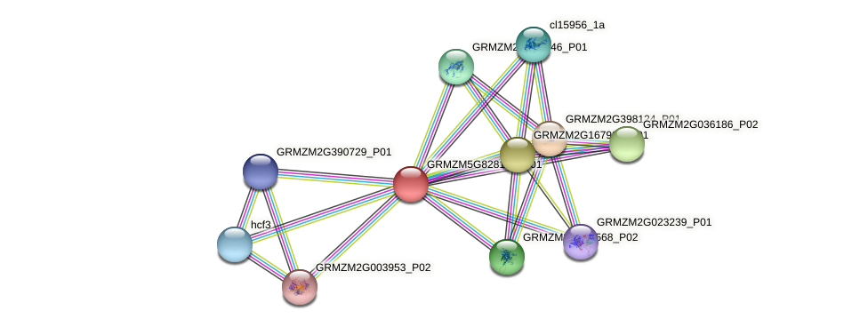 GRMZM5G828139_P01 protein (Zea mays) - STRING interaction network