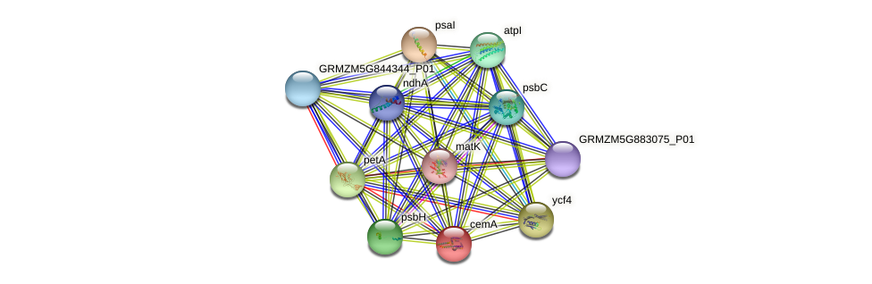 cemA protein (Zea mays) - STRING interaction network