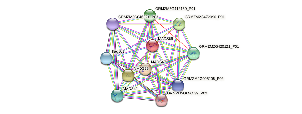 MADS66 protein (Zea mays) - STRING interaction network