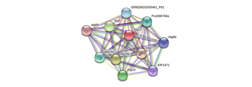 Atg12 protein (Zea mays) - STRING interaction network