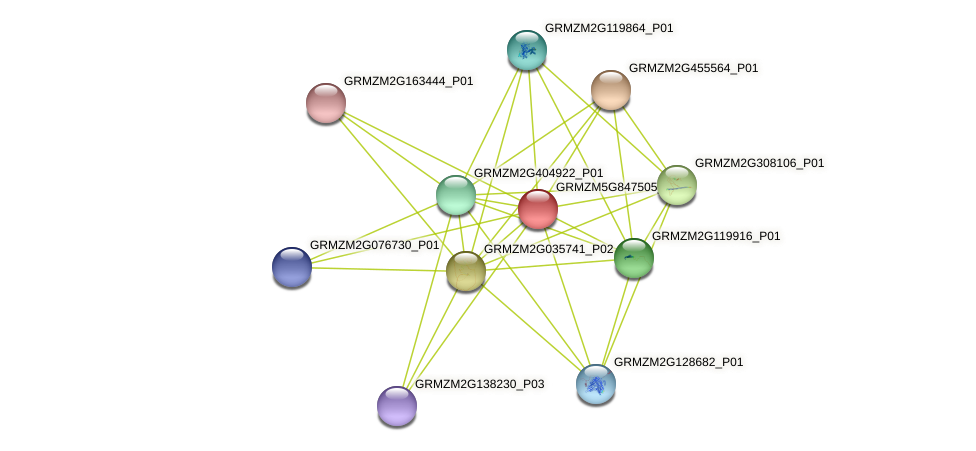 GRMZM5G847505_P01 protein (Zea mays) - STRING interaction network