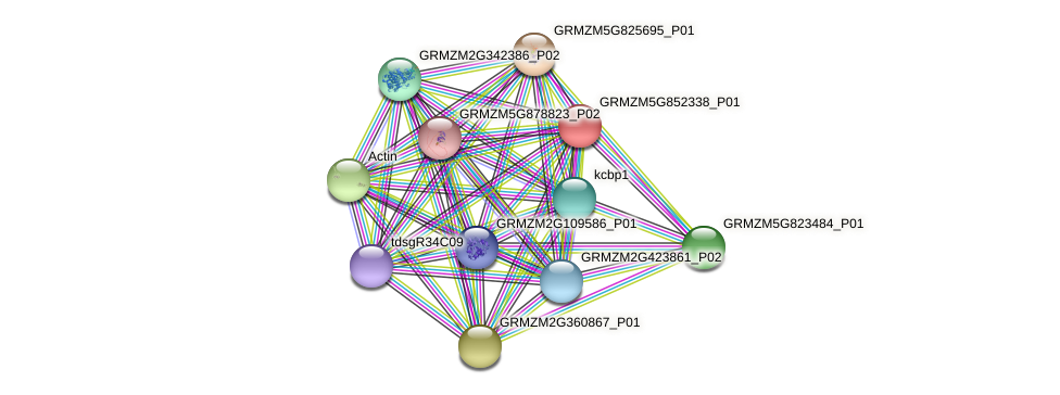 GRMZM5G852338_P01 protein (Zea mays) - STRING interaction network