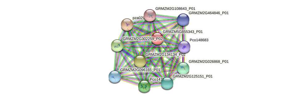 GRMZM5G855343_P01 protein (Zea mays) - STRING interaction network