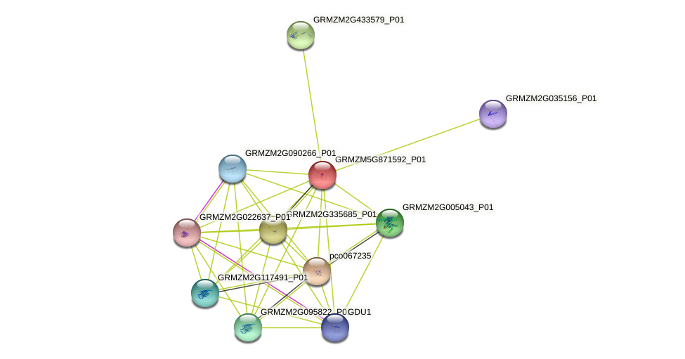 GRMZM5G871592_P01 protein (Zea mays) - STRING interaction network