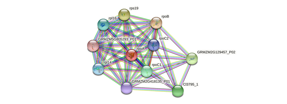 rpoA protein (Zea mays) - STRING interaction network