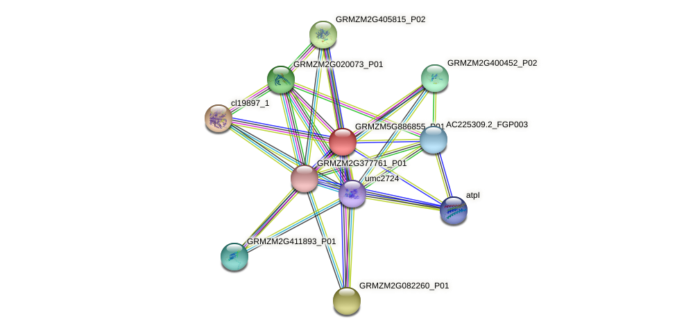 GRMZM5G886855_P01 protein (Zea mays) - STRING interaction network
