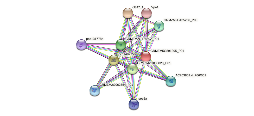 GRMZM5G891295_P01 protein (Zea mays) - STRING interaction network