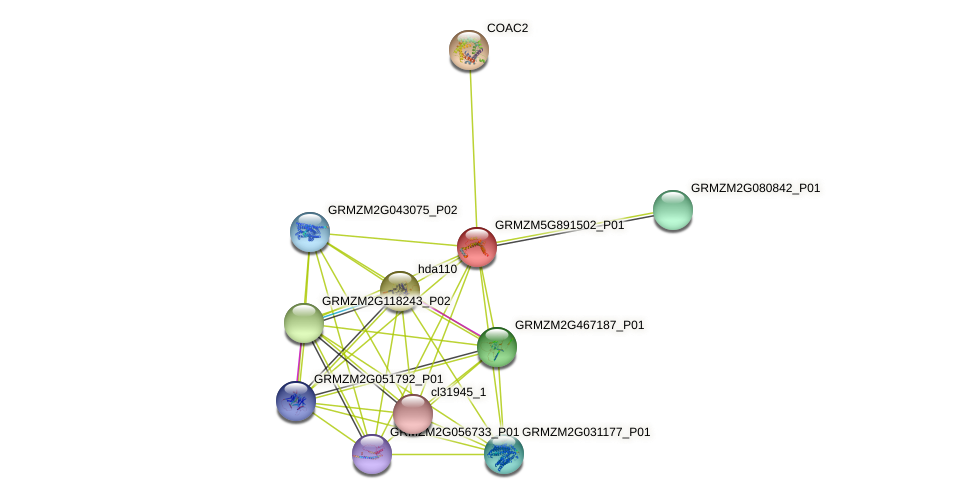 GRMZM5G891502_P01 protein (Zea mays) - STRING interaction network