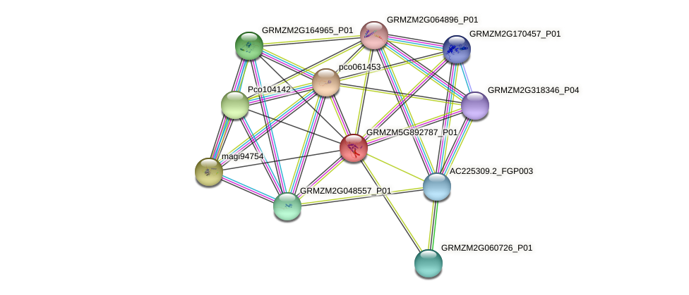 GRMZM5G892787_P01 protein (Zea mays) - STRING interaction network