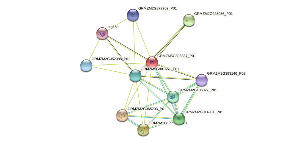 GRMZM5G896337_P01 protein (Zea mays) - STRING interaction network