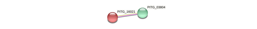 PITG_16021 protein (Phytophthora infestans) - STRING interaction network