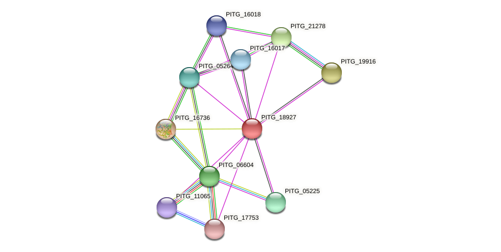 PITG_18927 protein (Phytophthora infestans) - STRING interaction network