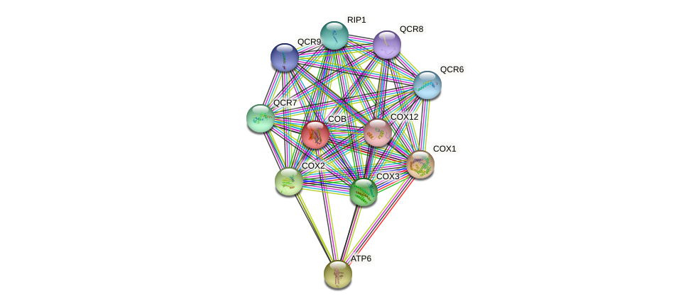 COB protein (Saccharomyces cerevisiae) - STRING interaction network