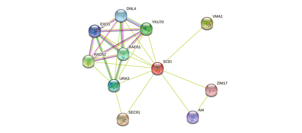 SCEI protein (Saccharomyces cerevisiae) - STRING interaction network