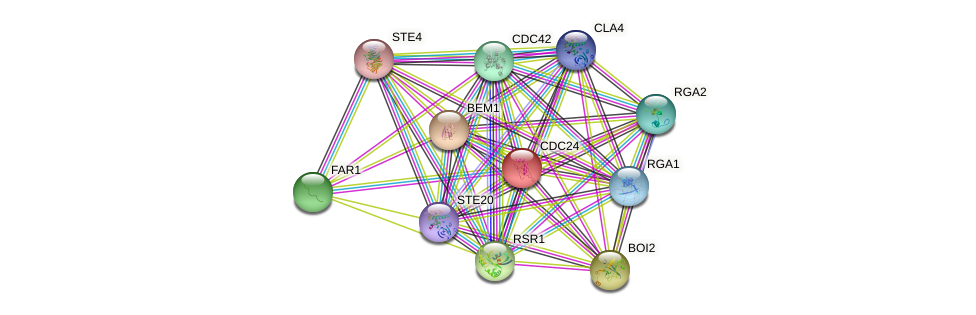 CDC24 protein (Saccharomyces cerevisiae) - STRING interaction network