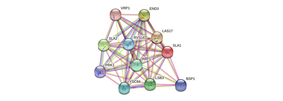 SLA1 protein (Saccharomyces cerevisiae) - STRING interaction network