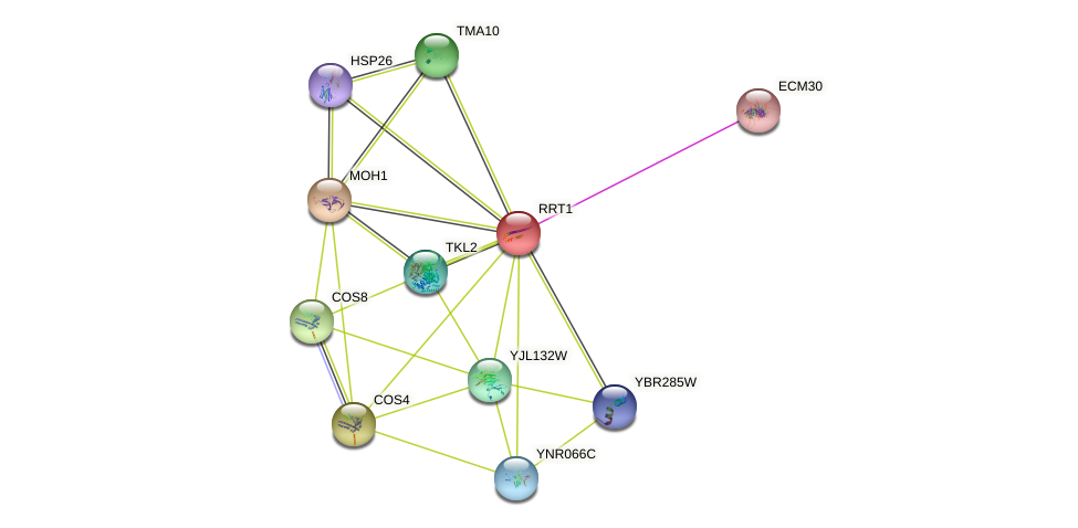 RRT1 protein (Saccharomyces cerevisiae) - STRING interaction network